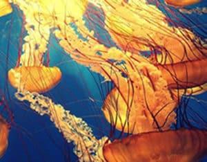 Нашествие ядовитых медуз на пляжах Австралии