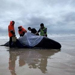 Сотни китов выбрасились на берег